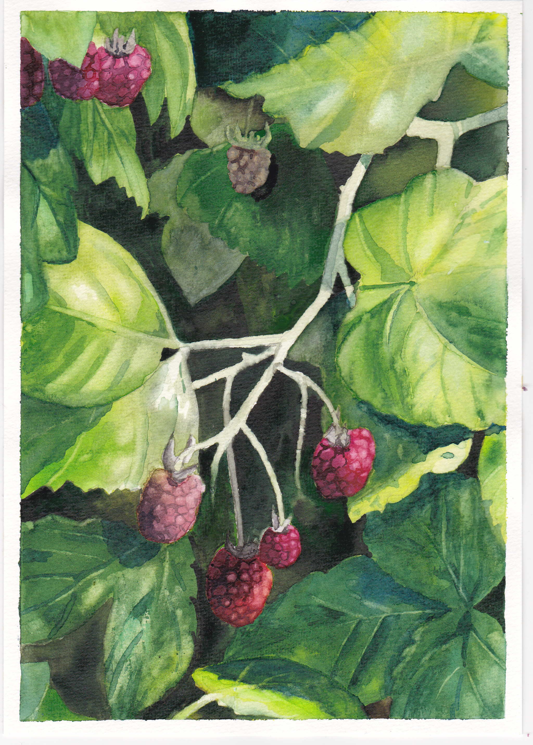 Himbeeren/ Raspberries